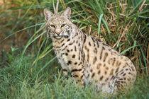 Bobcat (Felis rufus) von Danita Delimont