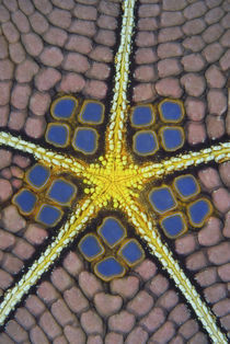 Detail of a pentagon sea star von Danita Delimont
