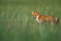 Vulpes vulpes (red fox) in grass von Danita Delimont
