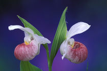 Showy Lady's Slippers (Cypripedium reginae) von Danita Delimont
