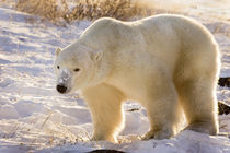 Full view of polar bear walking in snow by Danita Delimont
