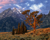 A lone cedar tree is colored by early morning sun at Grand Teton National Park in Wyoming von Danita Delimont