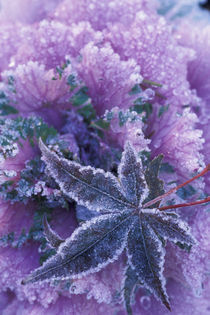 Mill Creek Frost-covered shrubs and maple leaf by Danita Delimont
