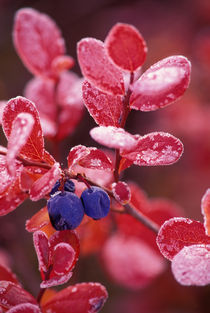 Blue berries in frosted autumn colors by Danita Delimont