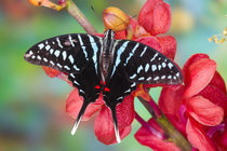 Sammamish Washington Tropical Butterflies photograph of Graphium colonna the Black Swordtail Butterfly on Orchid by Danita Delimont