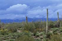 Saguaro cactus von Danita Delimont
