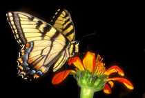 Detail of a captive western tiger swallowtail butterfly feeding on flower by Danita Delimont