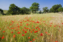 Meadow with Summer Poppies and Oak Trees in Tuscany von Danita Delimont