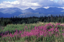 Fireweed blooms near Kluane National park von Danita Delimont