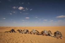 Camel caravan by Danita Delimont