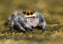 Close-up of jumping spider von Danita Delimont