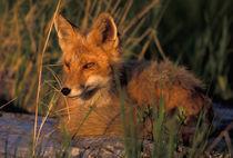 Vulpes vulpes (red fox) resting von Danita Delimont
