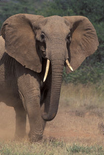 African Elephant by Danita Delimont