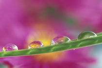 Image of asters formed in water droplets by Danita Delimont