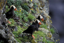 Paul Island Tufted Puffins by Danita Delimont