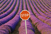 Rows of lavender and stop sign von Danita Delimont