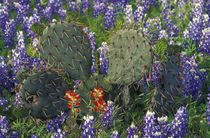 Cactus surrounded by Bluebonnets von Danita Delimont