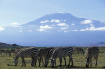 Herd of Plains Zebra (Equus burchelli) feeding in savanna near foot of Mount Kilimanjaro von Danita Delimont