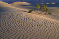 Mesquite Flats sand dunes with flowering creosotebush by Danita Delimont