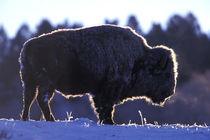 Bison (Bison bison) by Danita Delimont