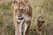 Female Lion with cub (Panthera Leo) as seen in the Masai Mara von Danita Delimont