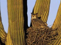 Great horned owl on nest in Saguaro cactus by Danita Delimont