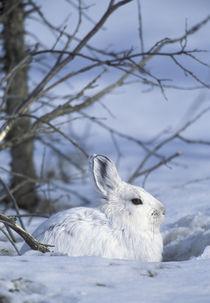 Snowshoe hare von Danita Delimont