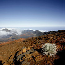 Silversword on Haleakala Crater Rim from near Visitor center by Danita Delimont