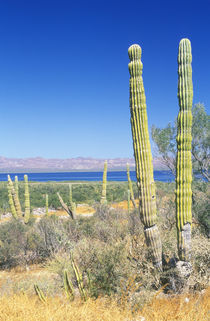 Cardon Cactus (Pachycereus pringlei) von Danita Delimont
