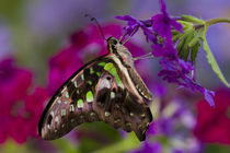 Graphium agamemnon from Asia on verbena by Danita Delimont