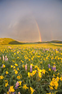 Spectacular wildflower meadow at sunrise in the Bighorn Mountains of Wyoming by Danita Delimont