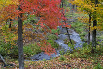 Coles Creek lined with autumn maple trees near Houghton in the UP of Michigan by Danita Delimont
