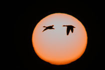Two snow geese in flight against pinkish sun von Danita Delimont