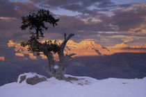 Sunset on the south rim; juniper trees; winter by Danita Delimont