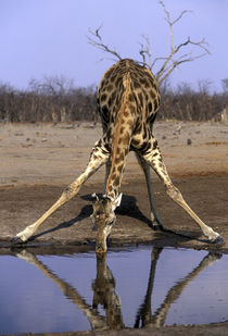 Giraffe (Giraffa camelopardalis) drinking at water hole in Savuti Marsh von Danita Delimont
