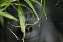 Adult Mountain Gorilla (Gorilla gorilla beringei) in rainforest by Danita Delimont