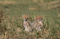 Africa; Kenya; Masai Mara; Three cheetah cubs (Acinonyx jubatus) by Danita Delimont
