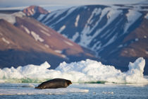 Bearded Seal (Erignathus barbatus) resting on pan ice in Lomfjorden at sunset on summer evening von Danita Delimont