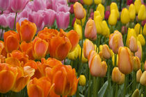 5 million tulips in 100 varieties by Danita Delimont