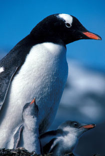 Gentoo Penguin with chicks by Danita Delimont