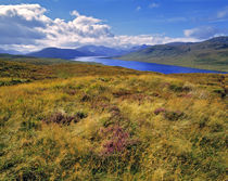 Heather covers the hillsides along Loch Cluanie in the NW Highlands in Scotland von Danita Delimont