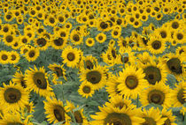 Kentucky Pattern in field of cultivated sunflowers by Danita Delimont