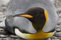 King penguin rests on beach by Danita Delimont