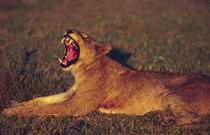 Lioness (Panthera leo) yawning in early morning light von Danita Delimont