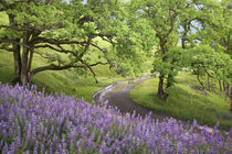 Dirt road winds past lupine flowers and oak trees by Danita Delimont