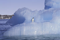 Antarctica Penguin; Adelie on ice floe by Danita Delimont