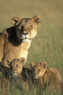 Lion cubs (Panthera leo) sits by Lioness in grass on savanna at sunrise von Danita Delimont