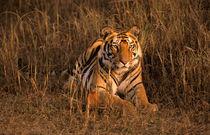 Tiger (Panthera tigris) by Danita Delimont