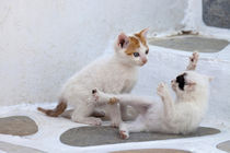 Kittens playing von Danita Delimont