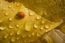 Ladybug on fall-colored leaf von Danita Delimont